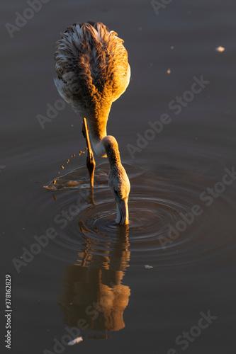 Flamenco común (Phoenicopterus roseus) joven al amanecer en el Parc Natural dels Wallpaper Mural
