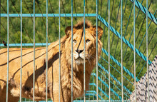 A Young Lion In A Zoo Cage.
