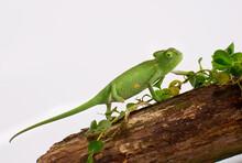 Curious Baby Chameleon (Yemeni...