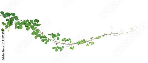 Bush grape or three-leaved wild vine cayratia (Cayratia trifolia) liana ivy plant bush, nature frame jungle border isolated on white background, clipping path included Wallpaper Mural