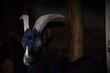 canvas print picture - portrait of a goat