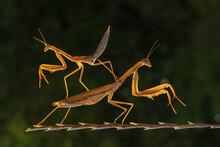 Praying Mantis On A Rock