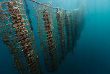 Mussel Clam Aquaculture