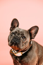 French Bulldog Looking On Pink Background