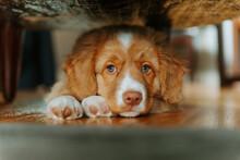 Puppy Resting Under Chair