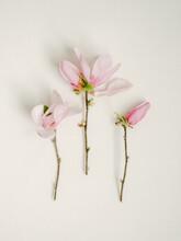 Tulip Magnolia Study