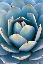 Close Up Of Agave Cactus