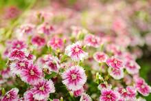 Pink Wild Carnation Flowers On...