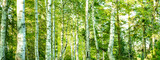 Fresh green birch trees (Betulaceae ) in bright sunlight. Forest summer sprig nature landscape at sunset background banner wide panoramic panorama