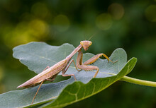Close-up Portrait Of Brown Female European Mantis (Praying Mantis) In Natural Habitat. Mantis Religiosa Looking At Camera And Sits On Fig Ficus Carica Leaf. Nature Concept. Selective Focus.