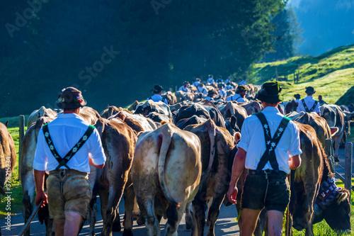 Fotografie, Tablou Viehscheid - Allgäu - Gunzesried - Herde