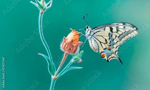Fototapeta Macro shots, Beautiful nature scene. Closeup beautiful butterfly sitting on the flower in a summer garden.   obraz