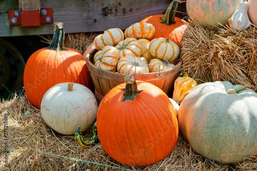 Fototapeta A variety of freshly harvested Pumpkins in farm basket obraz