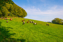 Herd Of Cows In A Green Hilly ...