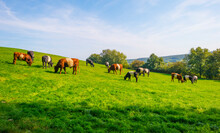 Herd Of Cows In A Green Hilly Meadow Under A Blue Sky In Sunlight In Autumn, Voeren, Limburg, Belgium, September 11, 2020