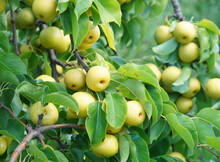 Close Up On Yellow Asian Pear On The Tree