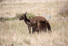 Iconic Australian Brown Kangaroo Macropus Rufus Jill With A Large Joey In Her Pouch Grazing On A Cloudy Afternoon In A Paddock Of Green Grass  After Early Spring Rains .