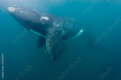 Fototapeta Southern Right Whale, Peninsula Valdes, Patagonia