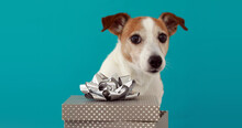 Funny Jack Russell Terrier Pup...