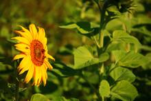 Sonnenblume Bienennahrung