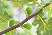Green Figs Growing On A Branch Close Up, Natural Background.