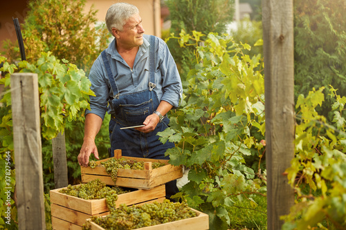 Fotografering Hard-working farmer standing near his harvested grapes with tablet in hand