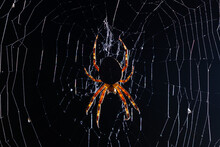 Night Picture Of Hunting Garden Spider On The Net