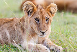 Fototapeta Sawanna - Resting lion cub on the savanna
