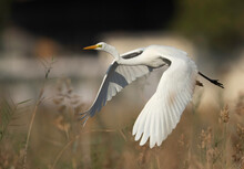Great Egret Is Also Known As Common Egret Or Large Egret