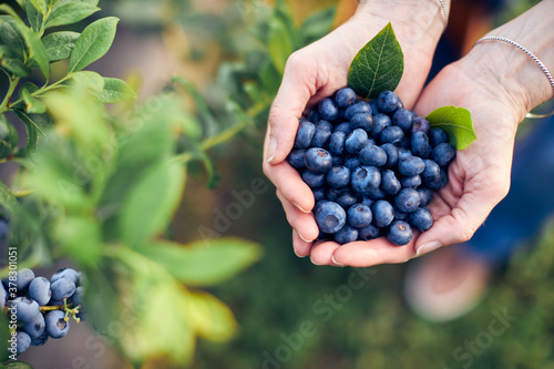Fotografia Modern woman working and picking blueberries on a organic farm - woman power business concept