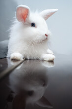 "Home White Rabbit ""Lion Head"" ..."