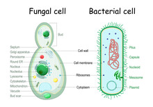 Bacteria And Fungal (yeast). Comparison Of Cell Structure.