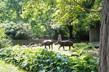 Tapir Savanne Herde Kuh