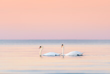 Two Swans In Sunset On The Pea...