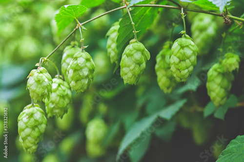 Fototapeta green branches of hops in natural light obraz