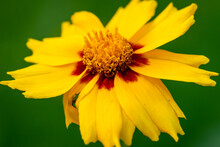 Yellow Flower With Yellow Red Center.  Yellow Coreopsis With Selective Focus And Bokeh.  Tickseed
