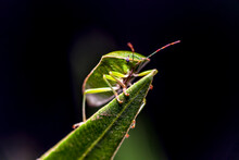 Insect Macro Photography Nebula Rhaphigaster
