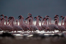 Lesser Flamingos Marching In T...