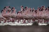 Fototapeta Sawanna - Lesser Flamingos moving in one direction at Lake Bogoria, Kenya