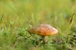 Muchomor czerwony rosnący na zielonej łące