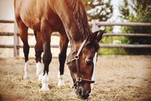 A Beautiful Bay Horse Grazes I...