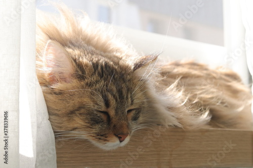 Obraz na plátně 노르웨이숲 고양이