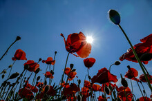 Red Poppies On Background Of B...
