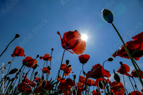 Fototapeta red poppies on background of blue sky, digital picture taken in Italy, Europe obraz