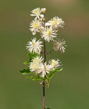 White Flowers Of Old Man's Beard Or Traveller's Joy Shrub. Clematis Vitalba