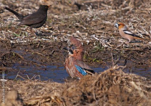 Obraz na plátne Eurasian jay, Garrulus glandarius making a bath with blackbird and hawfinch on the background