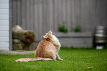 Ginger Maine Coon. A Maine Coon Female Cat Outside In The Garden Looking At Something In The Distance.