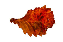 Close-up Of Autumn Leaf On Whi...
