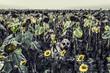 Shepherd in faded sunflowers. Autumn field with flowers.