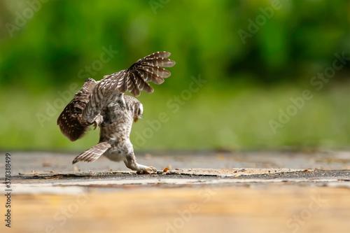 Fotografía Spotted owlet hovering in their prey